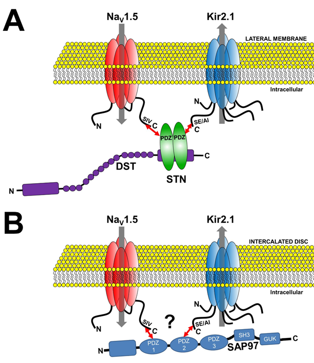 Channelosomes formed by NaV1.5 and Kir2.1 at different membrane microdomains of the cardiomyocyte