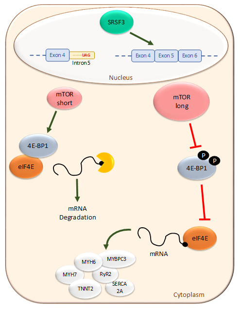 The RNA-binding protein SRSF3 regulates alternative splicing of the master metabolic regulator mTOR