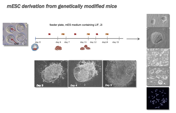 mESC derivation from genetically modified mice