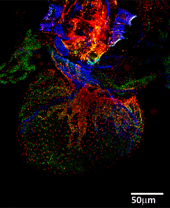 Imagen mosaico confocal de alta resolución de un corazón embrionario clarificado de ratón. SMAcy3 (azul), Lyvel 633 (rojo) and Prox1 cy5.S (verde).