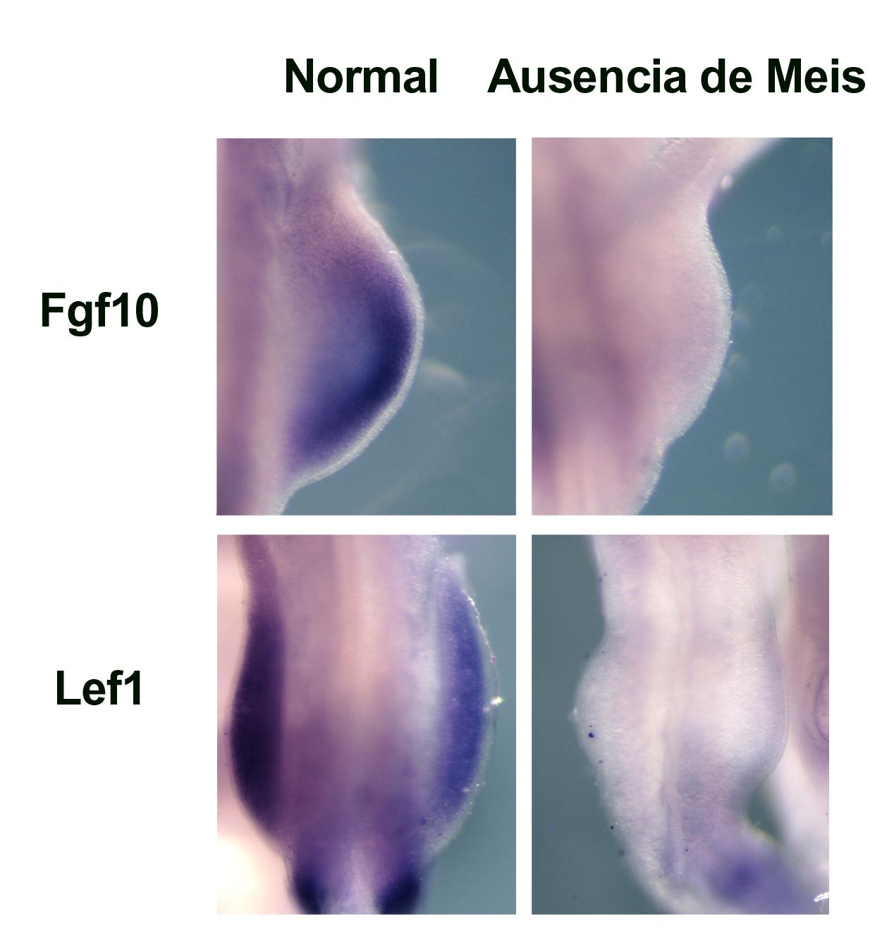 Expresión de Fgf10 y Lef1 en esbozos de extremidad inferior en embriones normales y en ausencia de Meis, en los que no se observa expresión alguna.