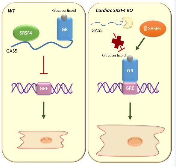 Izquierda, en ratones 'wild type' (sin modificación genética), SRSF4 estabiliza el ARN no codificante GAS5, que a su vez inhibe el receptor de glucocorticoides (GR). Derecha, en ausencia de SRSF4, GAS5 se degrada y el receptor de glucocorticoides se activa y se une al ADN para promover la activación de genes implicados en hipertrofia cardiaca. La pérdida de SRSF4 produce un aumento de una segunda proteína de la familia SR, SRSF6, que también contribuye a esta respuesta hipertrófica.