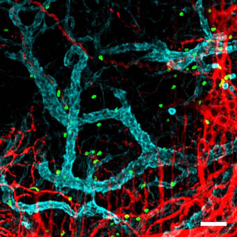 : Neutrophils (green) in the intestinal mucosa, close to neurons (red) and blood vessels (blue).