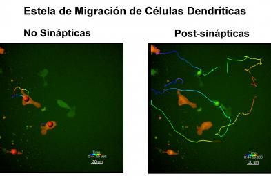 La célula dendrítica aumenta su capacidad móvil tras realizar un contacto sináptico efectivo con un linfocito T (trayectorias de las células post-sinápticas en verde y no sinápticas en rojo).