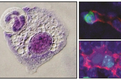 Microscopy images of macrophages in the process of ingesting another cell or with another cell already in their interior. The images on the right show this process in living tissues, with the phagocytosed cell in green and the macrophage in red. In these examples, the ingested cells are neutrophils. Images generated by Jose María Adrover Montemayor (left) and Noelia Alonso González (right).