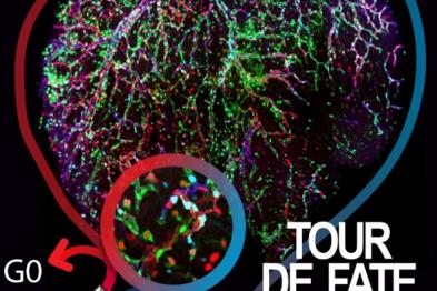 Imagen de un corazón de ratón en la que se indujo un mosaico genético multiespectral en vasos coronarios. Esta nueva tecnología genética y de imagen se utilizó para inducir distintas mutaciones genéticas y el etiquetado de células endoteliales coronarias individuales para así mapear su destino durante el desarrollo vascular. Estas mutaciones inhiben o promueven la progresión del ciclo celular, y así determinan su destino arterial o venoso. Las células necesitan salir del ciclo celular (G0) para formar arter