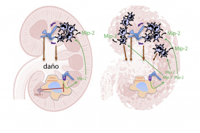 El hongo patógeno Candida albicans llega al riñón donde causa daño. En ratones silvestres, DNGR-1 en células dendríticas reconoce ese daño, lo que hace que produzcan niveles regulados de Mip-2, una quimioquina que produce la atracción de neutrófilos al tejido. Sin embargo, ratones deficientes en DNGR-1 no reconocen el daño, no reducen la producción de Mip-2 y esto hace que lleguen demasiados neutrófilos al riñón, causando una lesión excesiva (inmunopatología).
